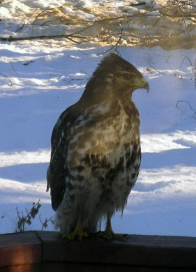 Hawk on the deck