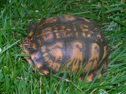 Turtle on the lawn