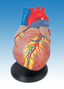 Heart for study